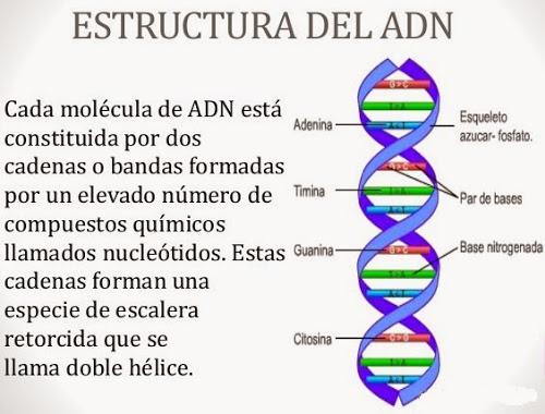 Estructura Del Adn Solo Ciencia
