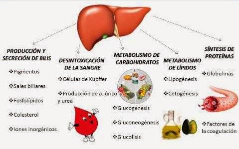 Qué función tiene el hígado
